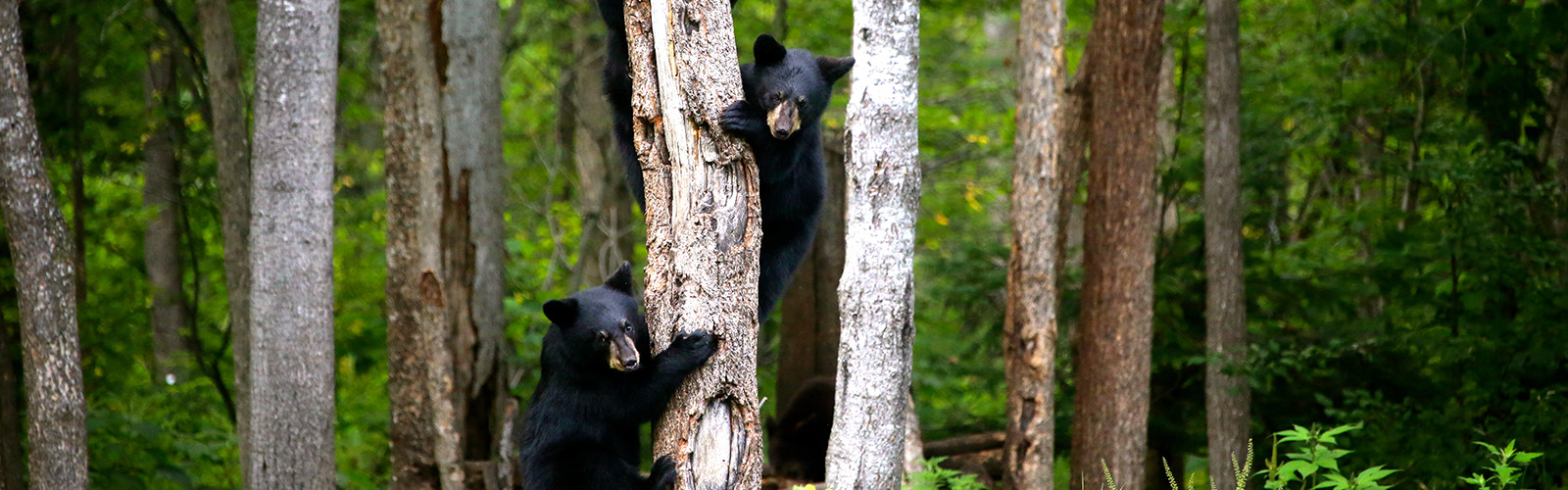 Bears of the World   American Bear Association