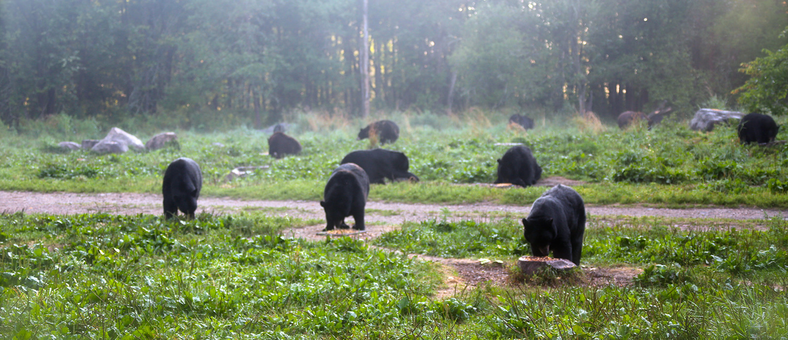Bears Eating