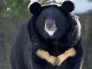 asiatic_black_bear
