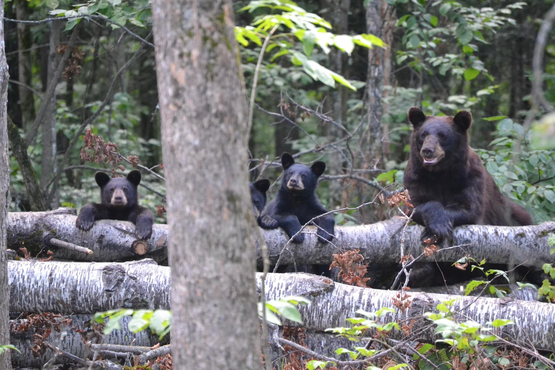 Schwinn's Blog | American Bear Association